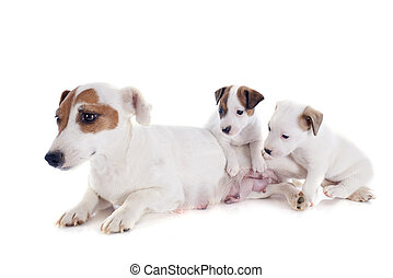 family jack russel terrier - portrait of a family jack...