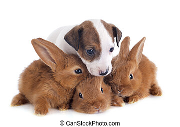 jack russel terrier and bunnies - portrait of a cute...