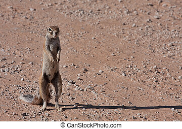 ground squirrel - Ground squirrelXerus inaurus in the...