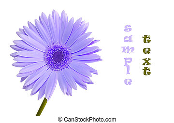 gerbera daisy purple