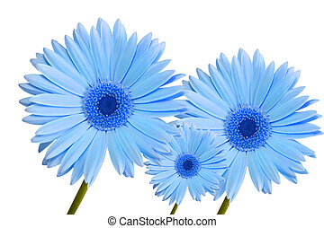 gerbera daisy blue three
