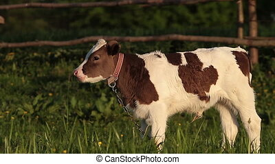 Calf on grazing