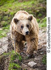 brązowy, Niedźwiedź, (Ursus, arctos)