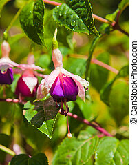 fuchsia flower - wet fuchsia flower in sunshine