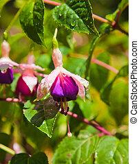 fuchsia flower - wet fuchsia flower in sunshine