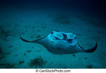 Manta and coral reef diving underwater - Manta coral reef...