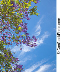 Jacaranda - flowering jacaranda branches agains blue sky