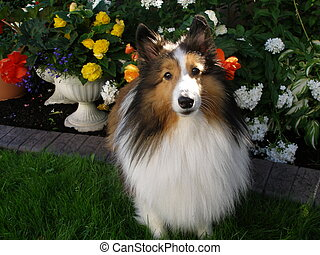 Cutie Pie - Sheltie in garden