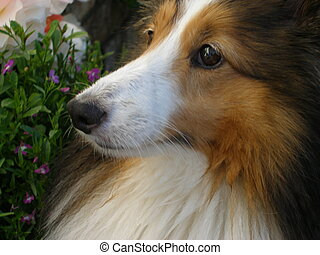 Gentle Face - Sheltie
