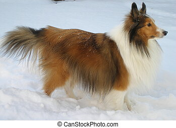 Sheltie side view - Sheltie in the snow.