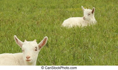 Small white goats in the meadow