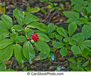 Ginseng Berries - Wild ginseng berrries on forest floor.