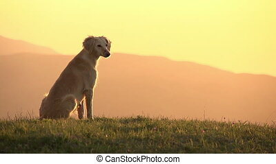 Asian Hound - Hunting dog sitting on top of a hill looking...