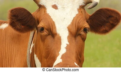 Brown cow with white spots on a sum