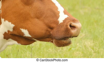 Brown cow with white spots on a summer pasture