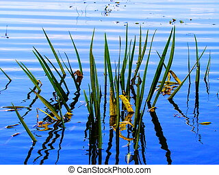 Lake Sedge - Green sedge grows on Blue Lake