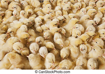 Large group of baby chicks on chicken farm - baby chicks