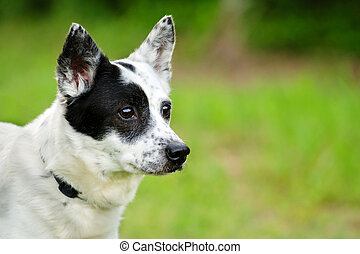 Blue heeler Australian cattle dog - Portrait of blue heeler...