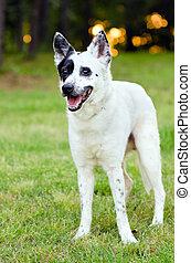 Blue heeler Australian cattle dog - Portrait of blue heeler...