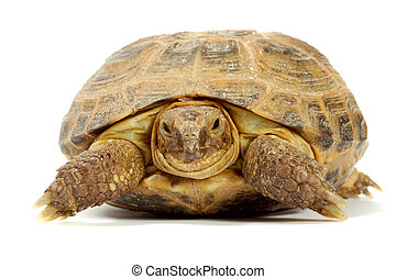 turtle - Young overland turtle on a white background.