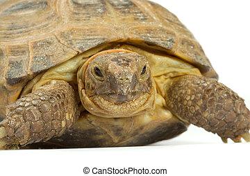Tartaruga faccia immagini e archivi for Tartaruga di palude