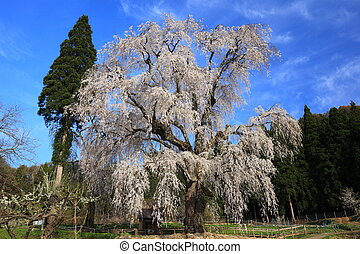Weeping cherry tree - Name is Mizunaka no Shidare Sakura ,...