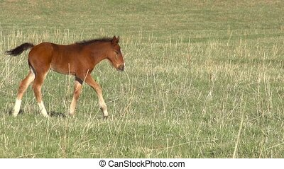 Foal - Little foal walking on green spring meadow. Slow...