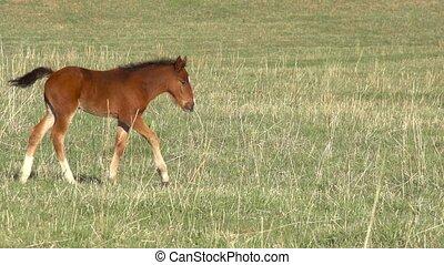 Foal - Little foal walking on green spring meadow. Slow...