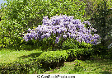 beautiful flowering wisteria tree in the park