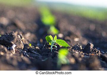 campo, cosechas, ponerse, maduro, debajo, sol