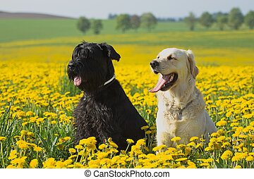 Golden Retriever and Big Black Schnauzer in dandelions...