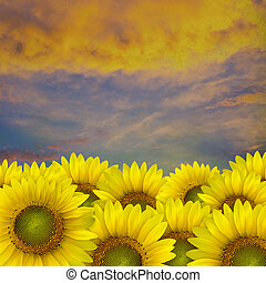 beautiful yellow Sunflower petals closeup with space text on...