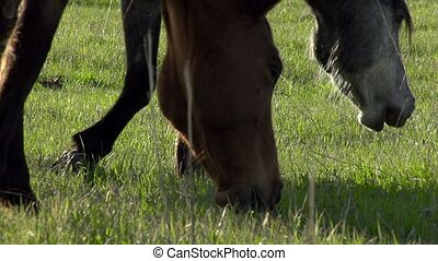 Horses Graze - Horses graze the young spring grass. Slow...