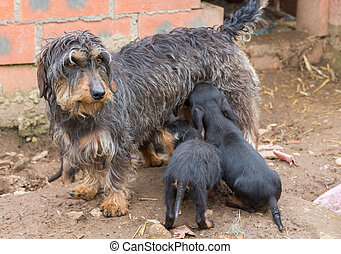 Dachshund litter - Closeup of adult Dachshund and litter...