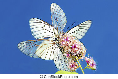 Two butterflies - Two butterflies their wings sitting on a...
