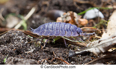 Pill bug walking in it's natural habitat