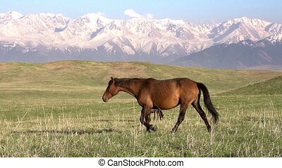 Walking Horse - The horse moves slowly against the...