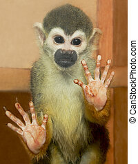 Decorative monkeys. - Portrait of a small decorative monkeys...