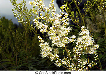 Blooming bushes. - Blooming bushes of white color ,not toxic...