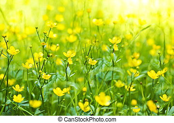 The flower of the Buttercup acrid. - The flower of the...