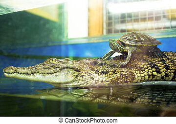 Crocodile and a small turtle - Crocodile and a small turtle...