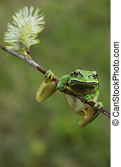European tree frog Hyla arborea on a branch