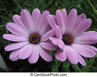 紫色, 花