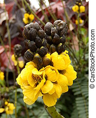 Cassia Didymobotrya - Close up of Cassia didymobotrya, also...