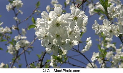 spring cherry-tree blossoms - spring cherry-tree beautiful...