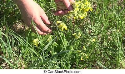 picking fresh spring cowslip herb
