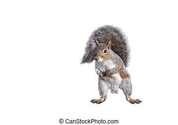 Squirrel - isolated squirrel