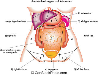Abdomen - illustration of anatomical regions of abdomen