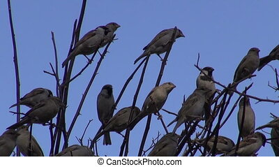 house sparrows on bush branch