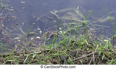 Great Crested Newt near pond - Great Crested Newt Triturus...